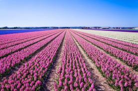 Lễ hội hoa Keukenhof - Hà Lan